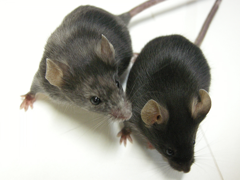 Ejemplo de utilización de la tecnología CRISPR-Cas9 en ratones, para investigar la función de secuencias de ADN no codificantes del gen de la tirosinasa, implicada en la síntesis de melanina. El ratón editado mediante CRISPR-Cas9 (izquierda) muestra alteraciones en la pigmentación que no presenta el ratón silvestre, de referencia (a la derecha). Estos resultados se describen en el artículo científico Seruggia et al. 2015 Nucleic Acids Research, May 26;43(10):4855-67. doi: 10.1093/nar/gkv375